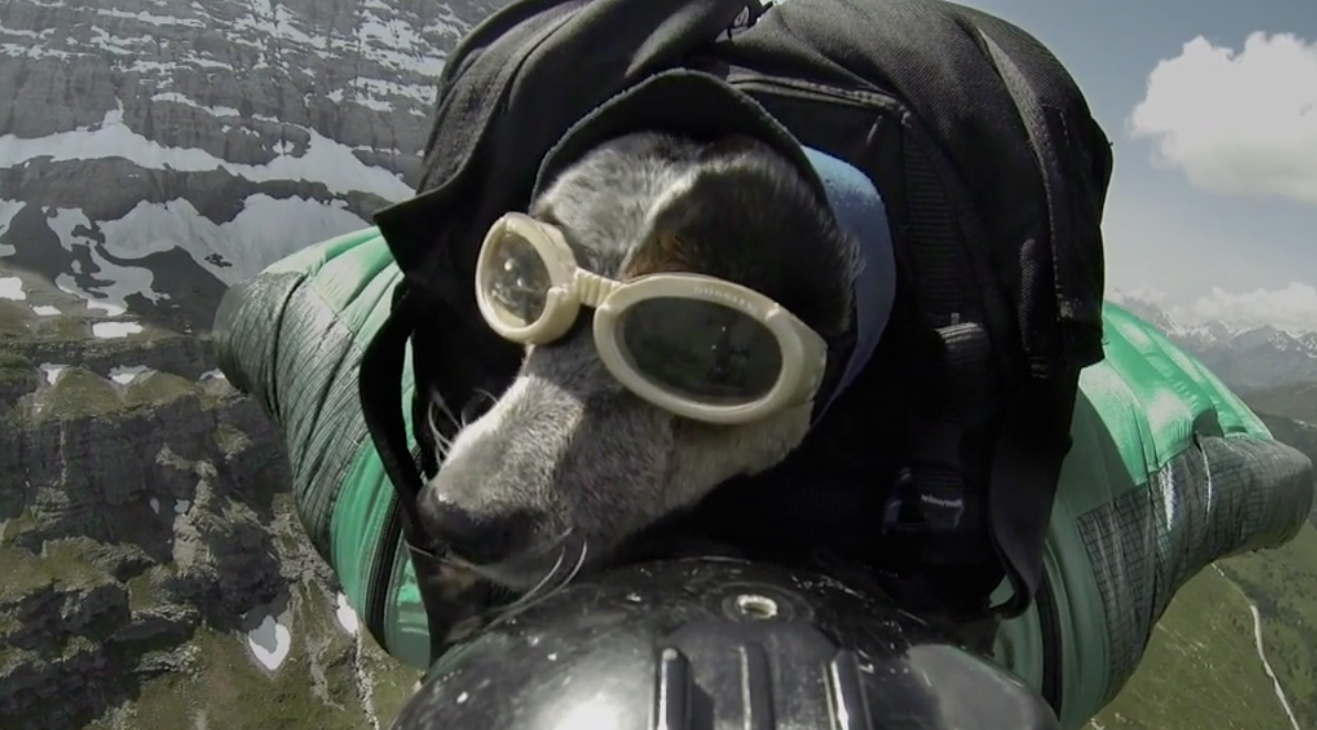 Dog wingsuit jump