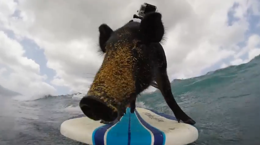 kama-surfing-pig-gopro-hawaii